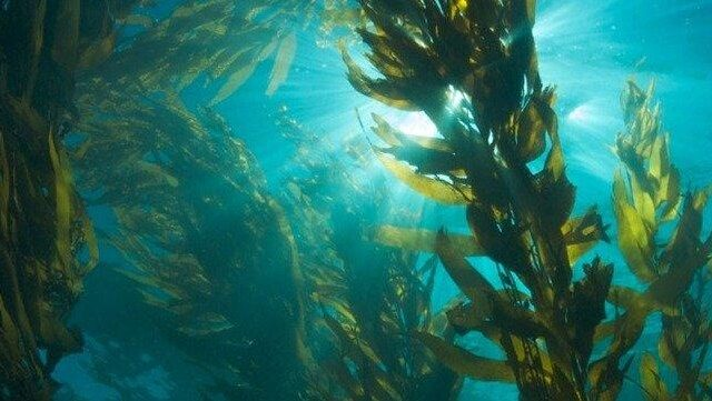 Rainforests of the Sea: Why Kelp Could Help Save the Planet